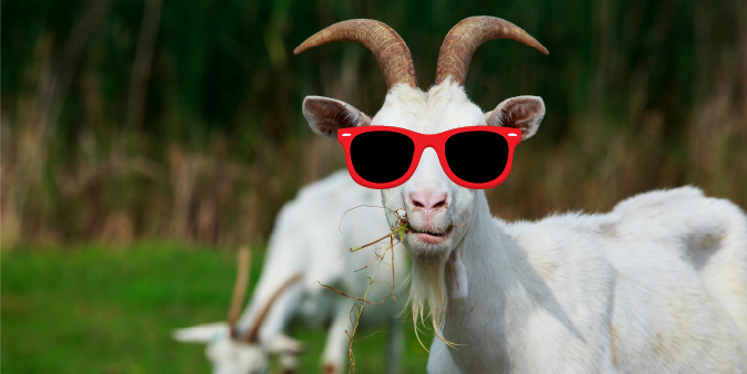 A goat wearing sunglasses who looks like he is about to break into song.